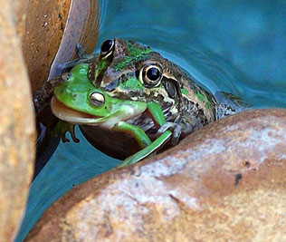 a-frog_eat_frog