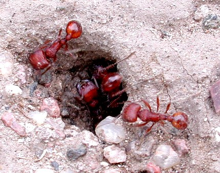 live_exhibits_harvester_ants_large