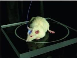 light-controlled-rat-brain