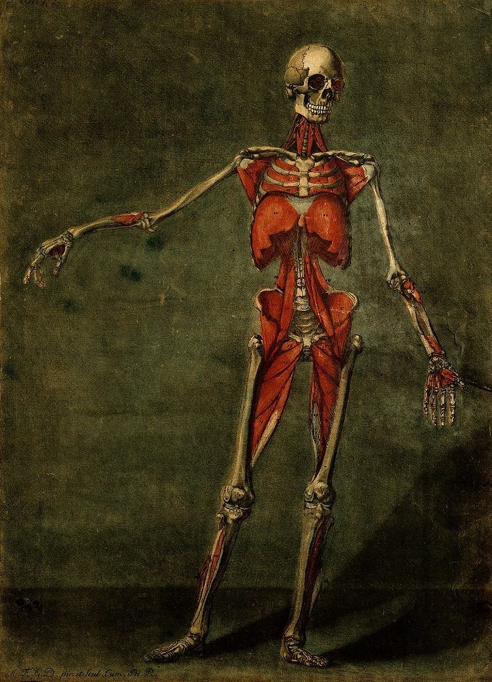 V0007799 The muscles of the human body, fourth layer, seen from the f