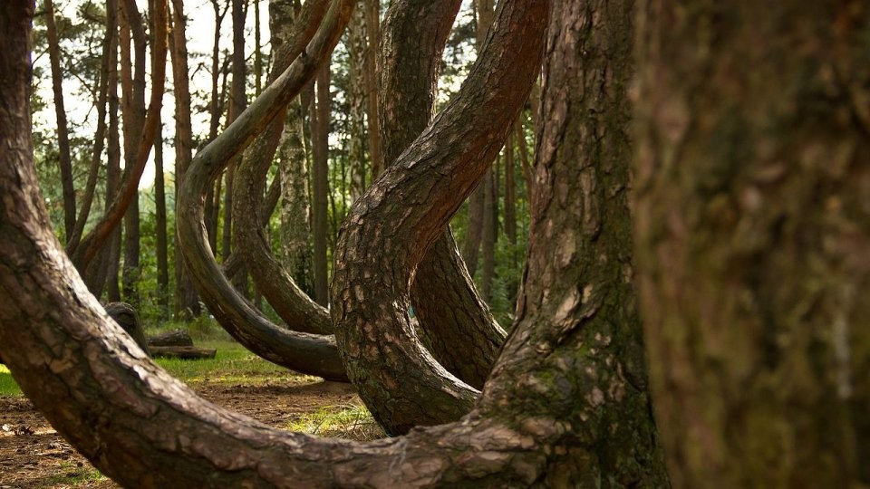 in-the-mysterious-crooked-forest-of-western-poland-roughly-400-pine-trees-all-grow-with-a-90-degree-bend-at-the-base-the-reason-behind-the-curved-trees-remains-unknown-to-this-day