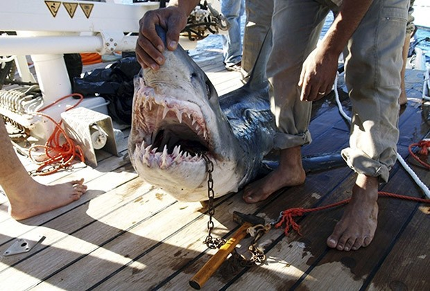 A fisherman holds the shark which was identified by an Egyptian diver as the shark which attacked four tourists in the Red Sea resort of Sharm el-Sheikh