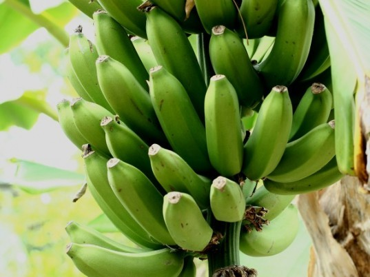 green-bananas-537x402