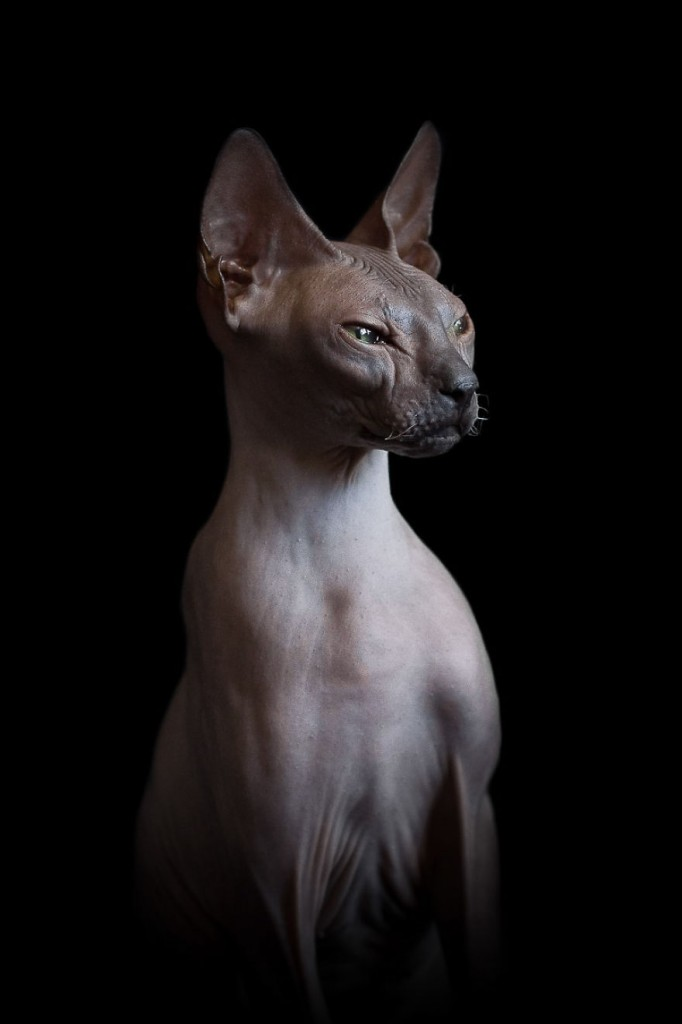 sphynx-cat-photos-by-alicia-rius-25__880