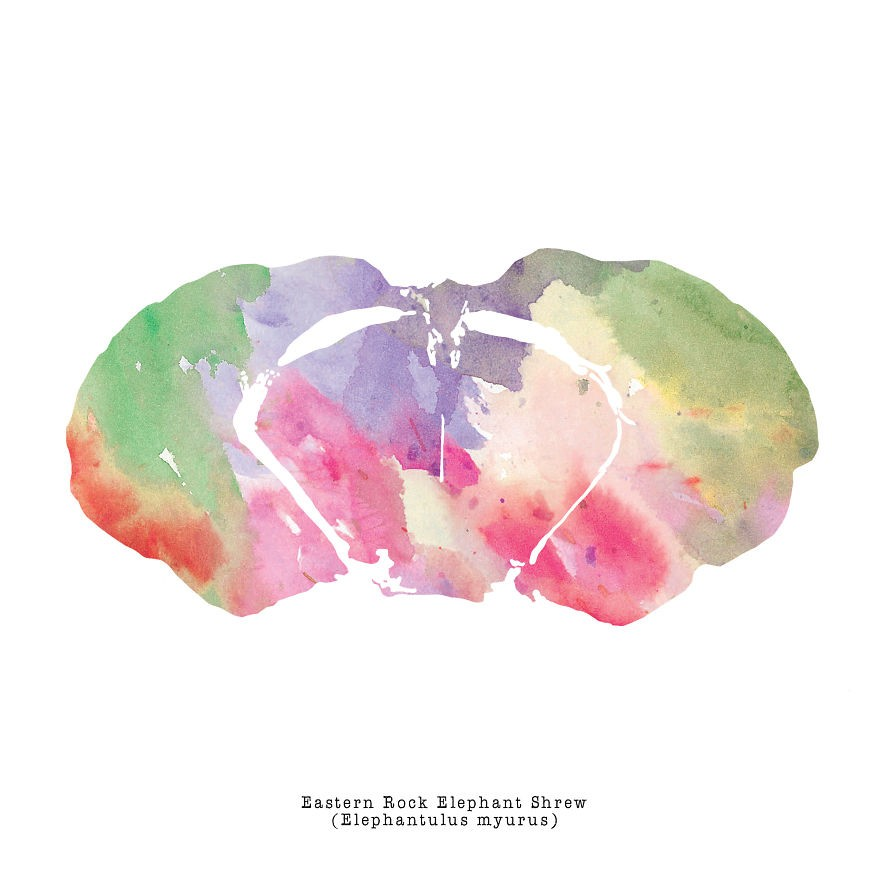 J_Sayuri_Animal_Brains_Watercolor_Illustration_Eastern-Rock-Elephant1__880