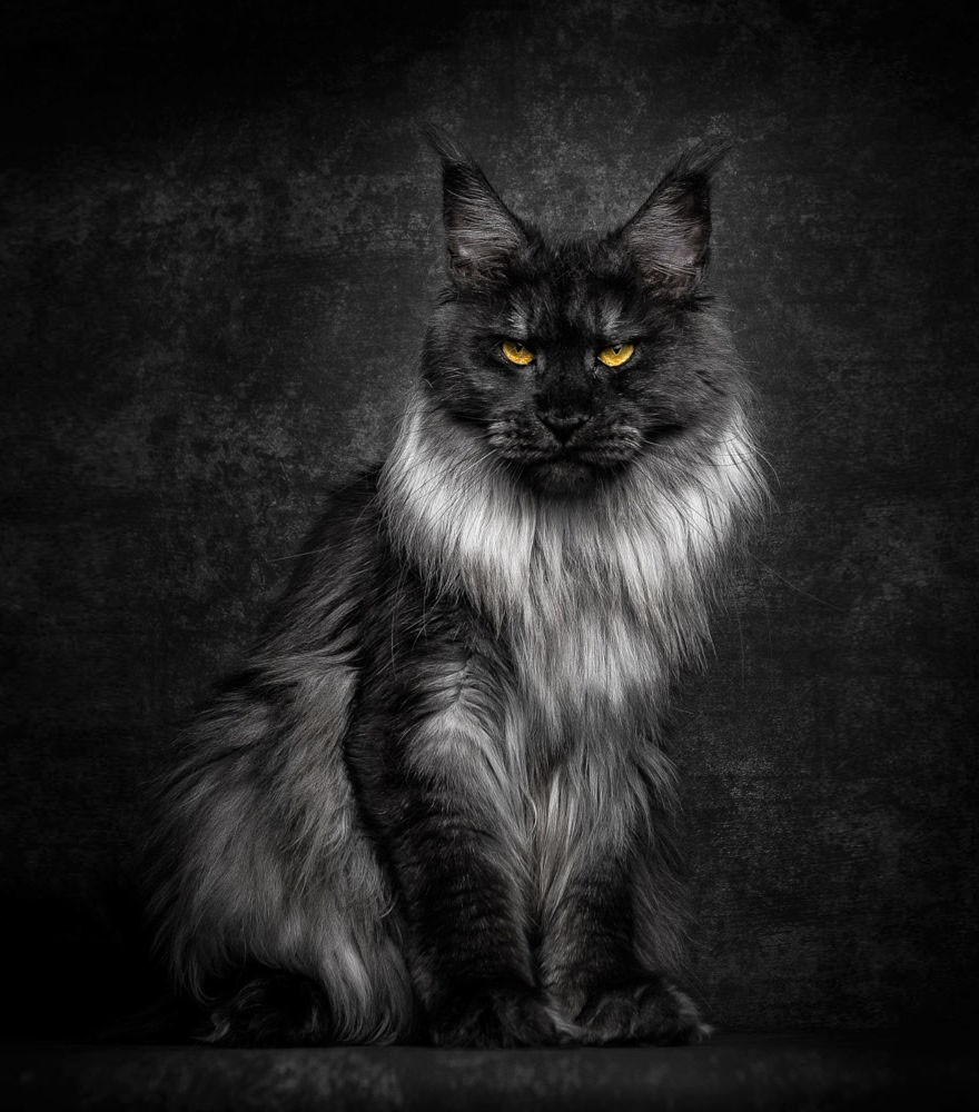 maine-coon-cat-photography-robert-sijka-21-57ad8edfdf87e__880